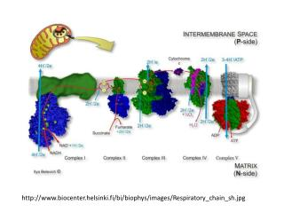 http://www.biocenter.helsinki.fi/bi/biophys/images/Respiratory_chain_sh.jpg
