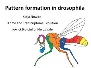 Pattern formation in drosophila