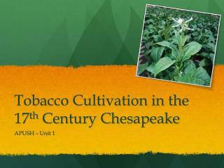 Tobacco Cultivation in the 17 th  Century Chesapeake