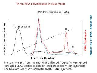 Three RNA polymerases in eukaryotes