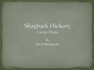 Shagbark Hickory Carya Ovata