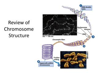 Review of Chromosome Structure