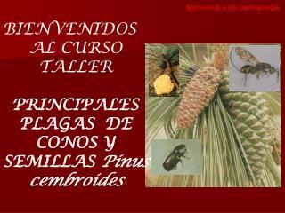 BIENVENIDOS AL CURSO TALLER PRINCIPALES PLAGAS  DE CONOS Y SEMILLAS  Pinus  cembroides