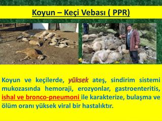 Koyun – Keçi Vebası ( PPR)