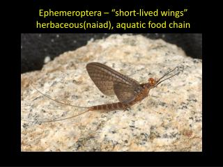 "Ephemeroptera  – ""short-lived wings"" herbaceous(naiad ), aquatic  food chain"