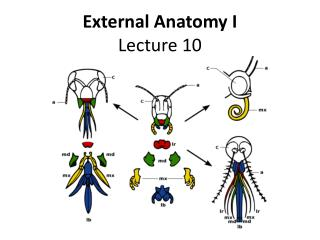 External Anatomy I Lecture 10