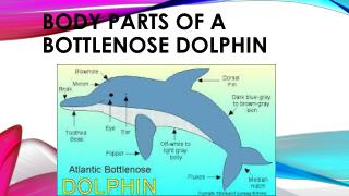 Body parts of a bottlenose dolphin