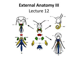 External Anatomy III Lecture 12