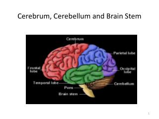 Cerebrum, Cerebellum and Brain  Stem