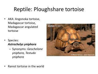 Reptile: Ploughshare tortoise