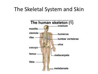 The Skeletal System and Skin