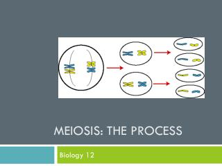 Meiosis: The Process