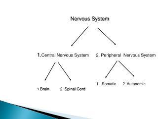 Nervous System   1. Central  Nervous  System       2.  Peripheral Nervous  System