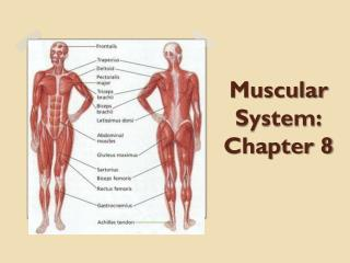 Muscular System: Chapter 8