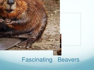 Fascinating   Beavers
