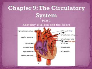 Chapter 9: The Circulatory System