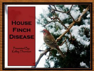 House  Finch Disease Presented By:  Kelley Thornton