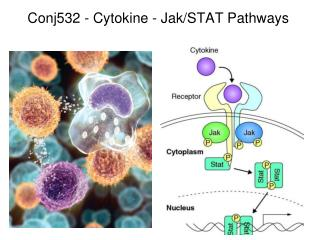 Conj532 - Cytokine  -  Jak /STAT  Pathways