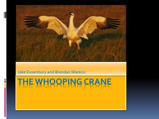 The whooping crane
