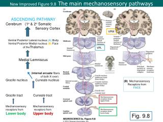 New Improved Figure  9.8   The main  mechanosensory pathways