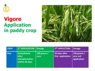 Vigore  Application  in paddy crop