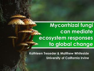 Mycorrhizal fungi  can  mediate  ecosystem  responses  to global  change