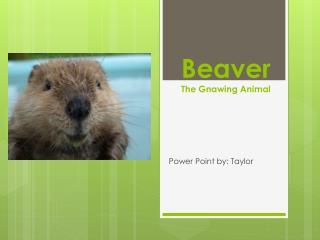 Beaver The  Gnawing Animal