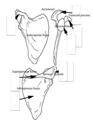 Spine of Scapula