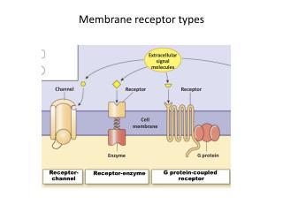 Membrane receptor types