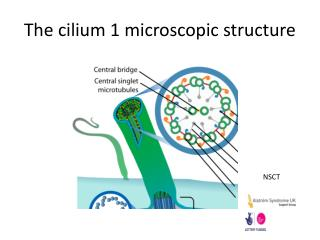 The cilium 1 microscopic structure