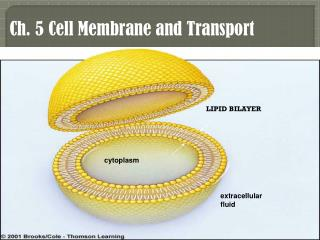 Ch.  5 Cell  Membrane and Transport