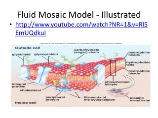Fluid Mosaic Model - Illustrated