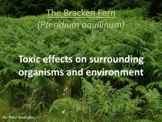 The Bracken Fern  ( Pteridium aquilinum )