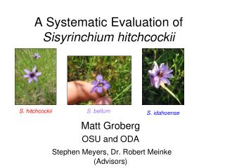 A Systematic Evaluation of Sisyrinchium hitchcockii