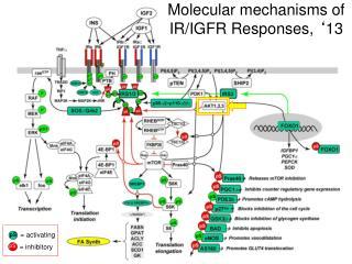 Molecular mechanisms of IR/IGFR Responses,  ' 13