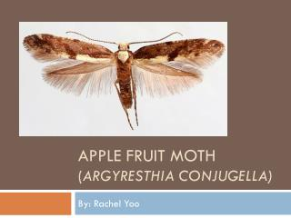 Apple Fruit moth ( Argyresthia conjugella )