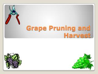 Grape Pruning and Harvest