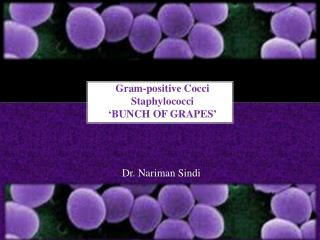 Gram-positive Cocci  Staphylococci 'BUNCH OF GRAPES'