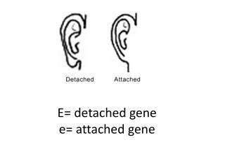 E = detached gene e= attached gene