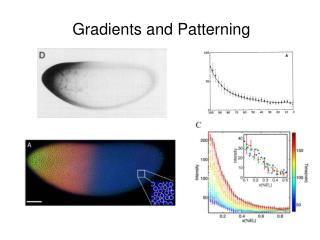 Gradients and Patterning