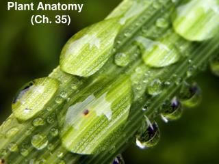 Plant Anatomy (Ch. 35)