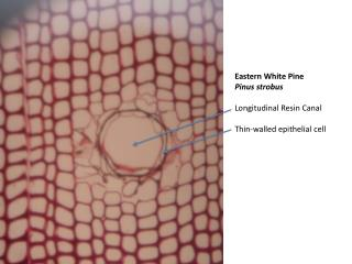 Eastern White Pine Pinus strobus Longitudinal Resin Canal Thin-walled epithelial cell