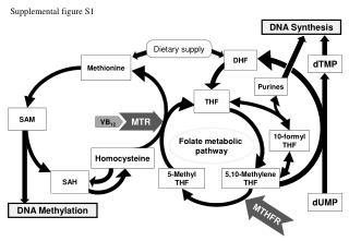 Folate  metabolic  pathway