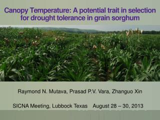 Canopy Temperature: A potential trait in selection for drought tolerance in grain  sorghum