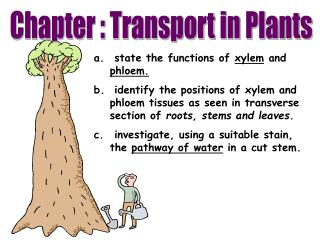 state the functions of  xylem  and  phloem.
