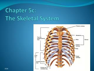 Chapter 5c: The Skeletal System
