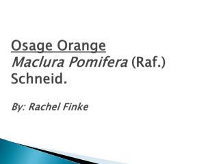 Osage Orange Maclura Pomifera ( Raf .)  Schneid . By: Rachel Finke