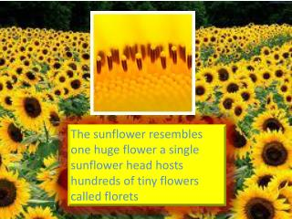 sunflower facts yuling 003