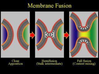 Membrane Fusion