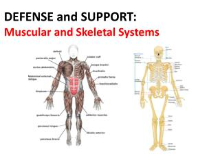 DEFENSE and SUPPORT:  Muscular and Skeletal Systems